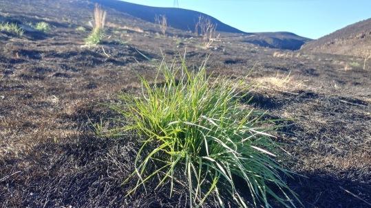 Rattle grass 1